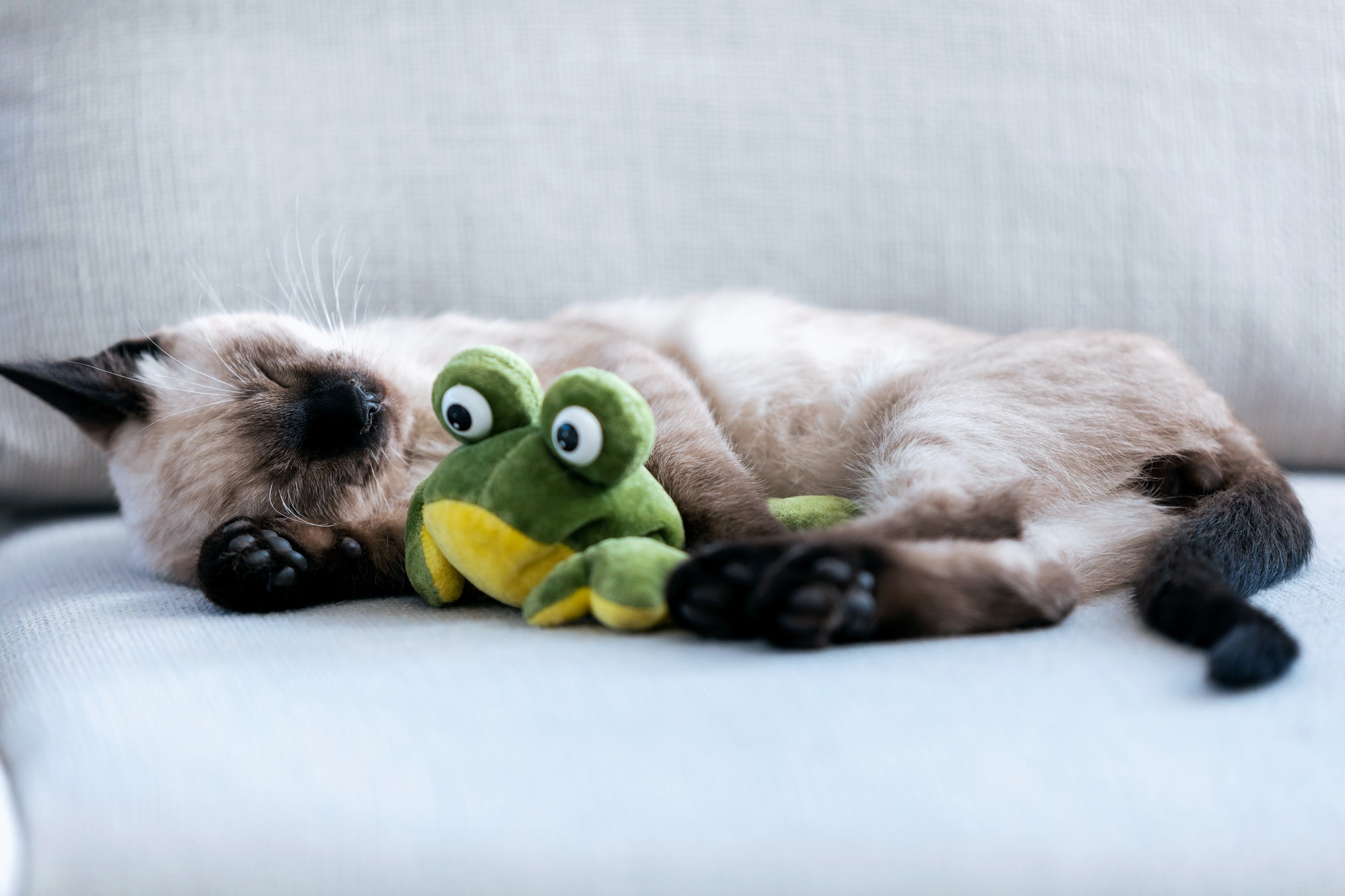 Little cute siamese kitten sleeping on couch while hugging a stuffed frog in living room at home.